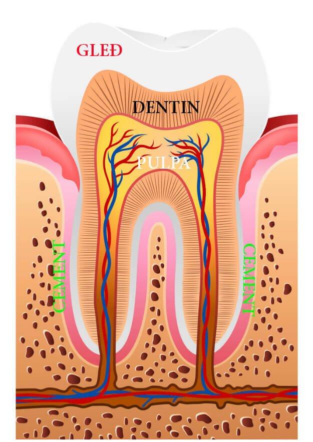 Magic Dent - Anatomija zuba