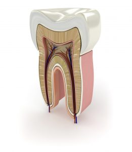 Građa zuba: zubna pulpa